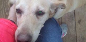 Znaleziona psa w typie labradora