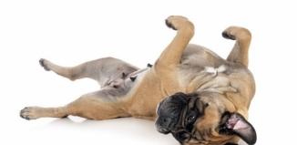 Bullmastiff - co musisz wiedzieć o tej rasie?